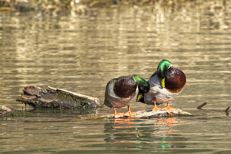 Enfeitando-se os patos selvagens masculinos foto de stock royalty free