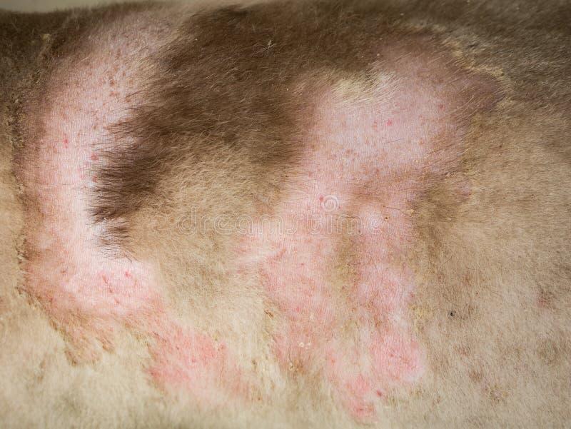 Enfermedad de la piel del siberiano Husky Dog imagenes de archivo