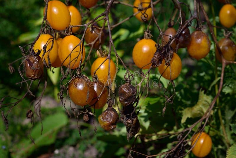 Enfermedad del tomate - último destrozo imágenes de archivo libres de regalías