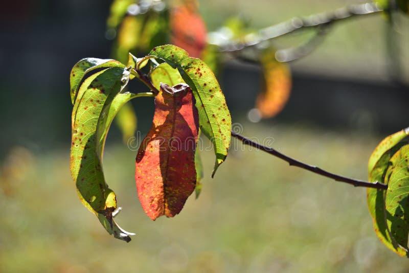 Enfermedad en las hojas del árbol de melocotón en otoño fotos de archivo libres de regalías
