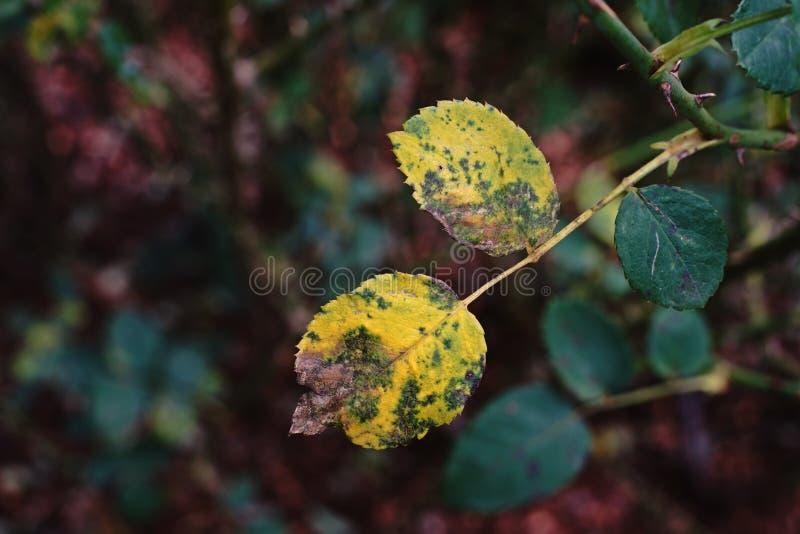 Enfermedad vegetal de las rosas fotos de archivo libres de regalías
