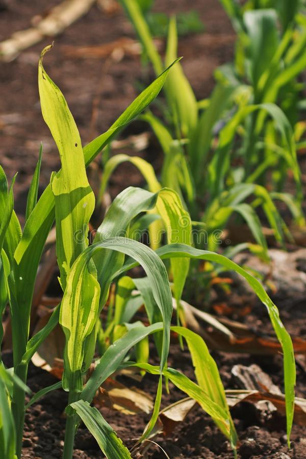 Enfermedad vegetal, enfermedad del moho suave del maíz fotos de archivo