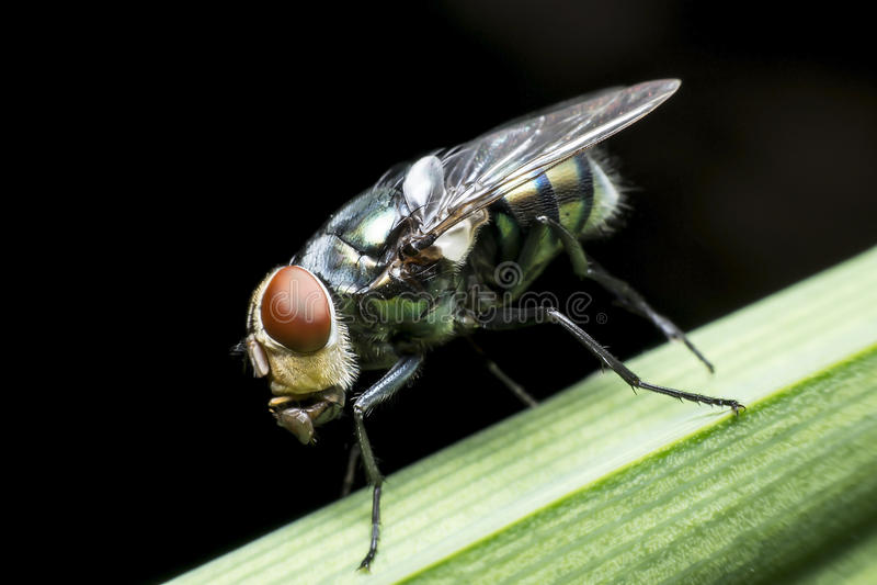 Enfermedades de la causa de las moscas imagen de archivo libre de regalías