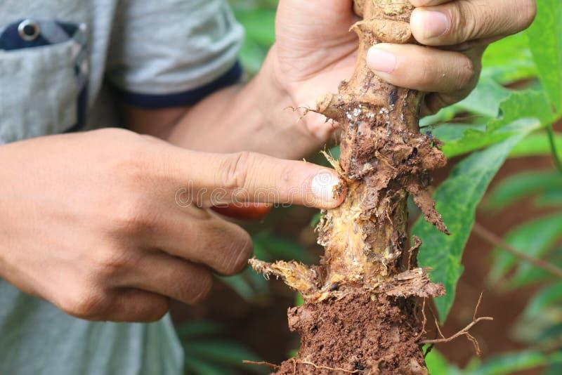 Enfermedades de la planta y de la raíz de la mandioca fotografía de archivo libre de regalías