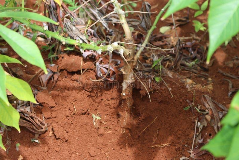 Enfermedades de la planta y de la raíz de la mandioca foto de archivo libre de regalías
