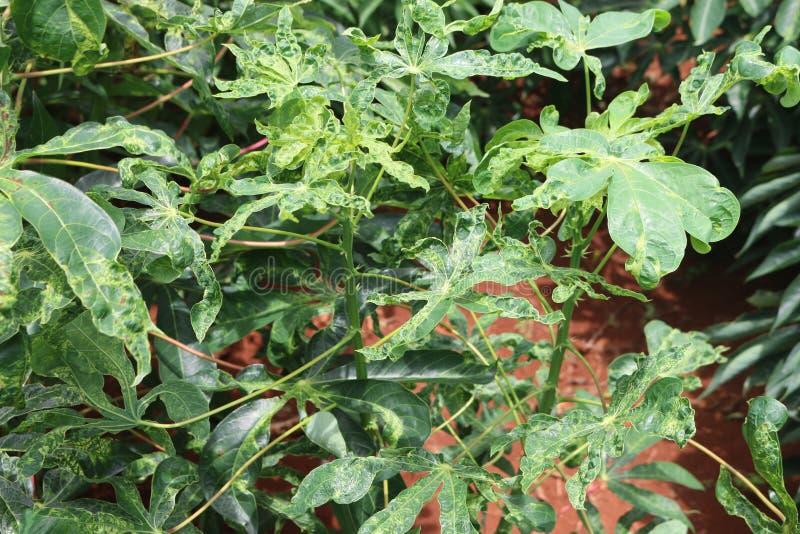 Enfermedades de la planta y de la raíz de la mandioca foto de archivo