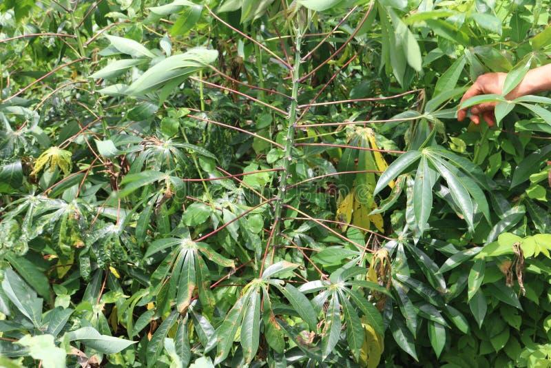 Enfermedades de la planta y de la raíz de la mandioca fotografía de archivo