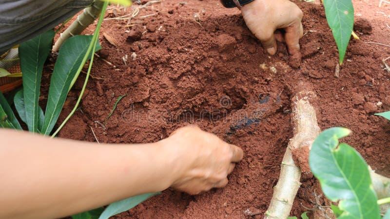Enfermedades de la planta y de la raíz de la mandioca imágenes de archivo libres de regalías