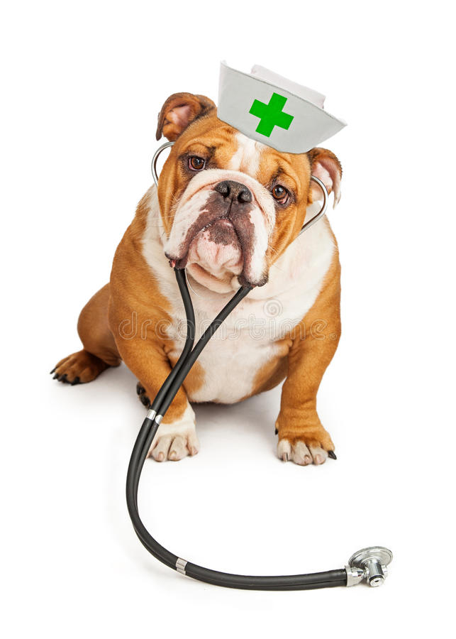 Enfermeira With Stethoscope do buldogue fotografia de stock