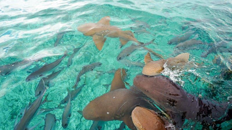 Enfermera Sharks en el tiburón Ray Alley, Belice imagenes de archivo