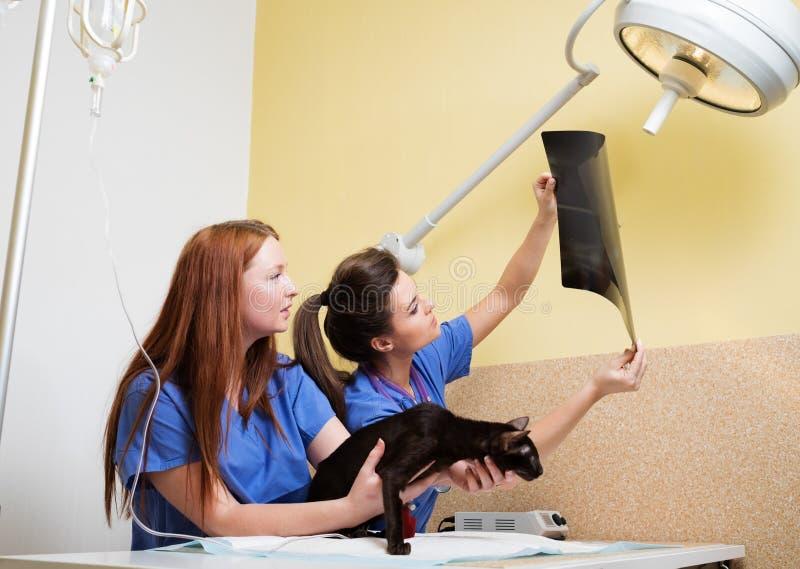 Enfermeras de los veterinarios que examinan la radiografía del gato imágenes de archivo libres de regalías