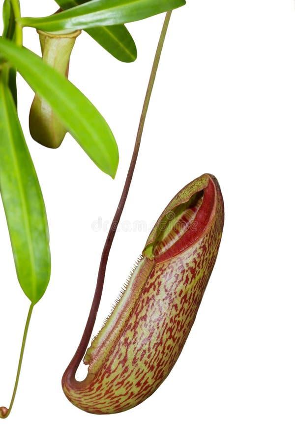 Enfermez la fleur (l'anatomie de centrale) photo libre de droits