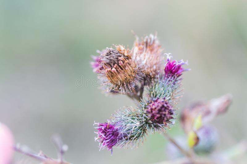 Enflures séchées et fleur de chardon pourpre sur fond vert Superficie végétale médicinale écologiquement propre Fond floral photos libres de droits