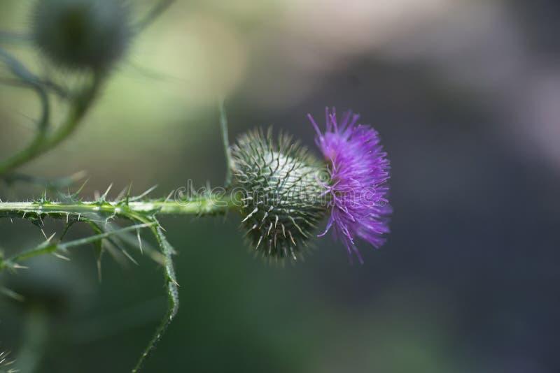 Enflures séchées et fleur de chardon pourpre sur fond vert Superficie végétale médicinale écologiquement propre Fond floral images libres de droits