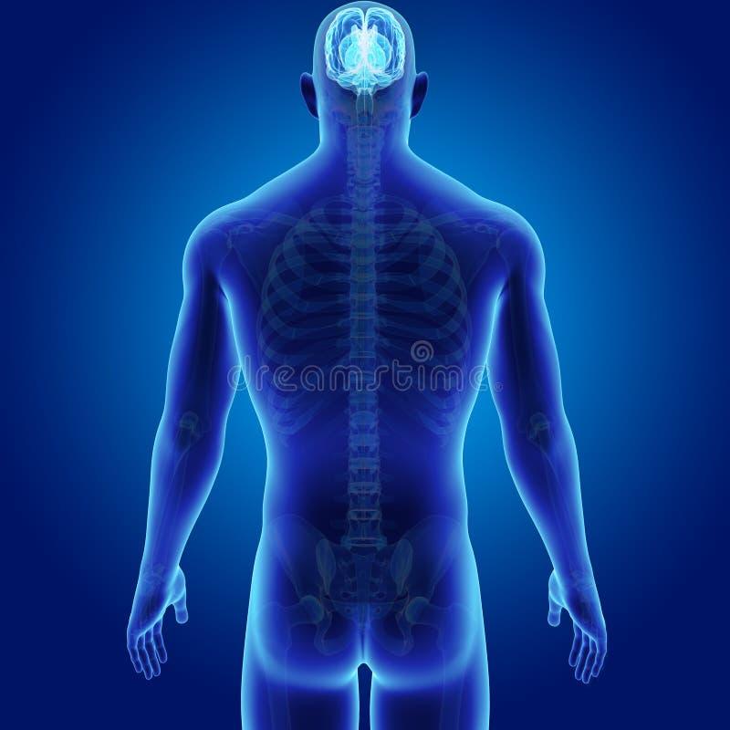 Enfoque Del Cerebro Humano Con La Visión Posterior Esquelética Stock ...