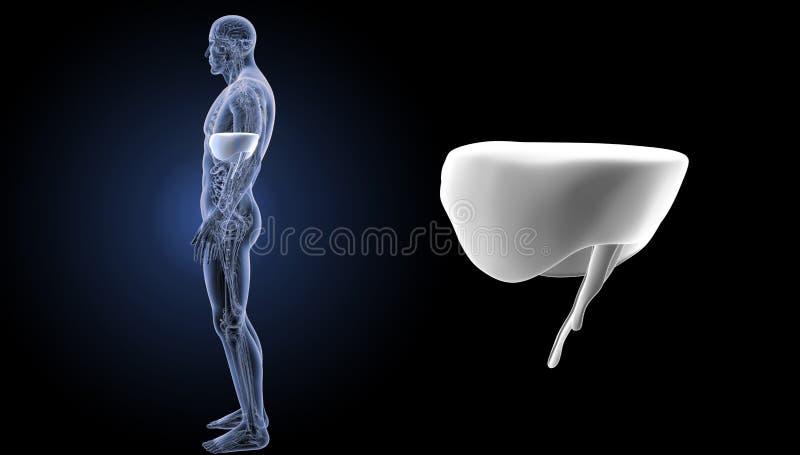 Enfoque del diafragma con la opinión del lateral de la anatomía stock de ilustración