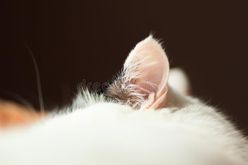 Enfoque del oído de gato imagen de archivo libre de regalías