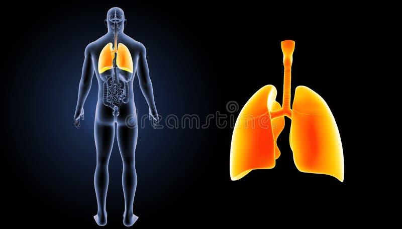 Enfoque humano de los pulmones con la opinión del trasero de los órganos fotografía de archivo libre de regalías
