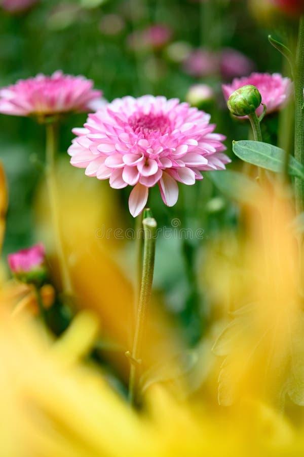 Enfoque selectivo de la pequeña composición vertical de las flores de crisantemo de lilo fotografía de archivo
