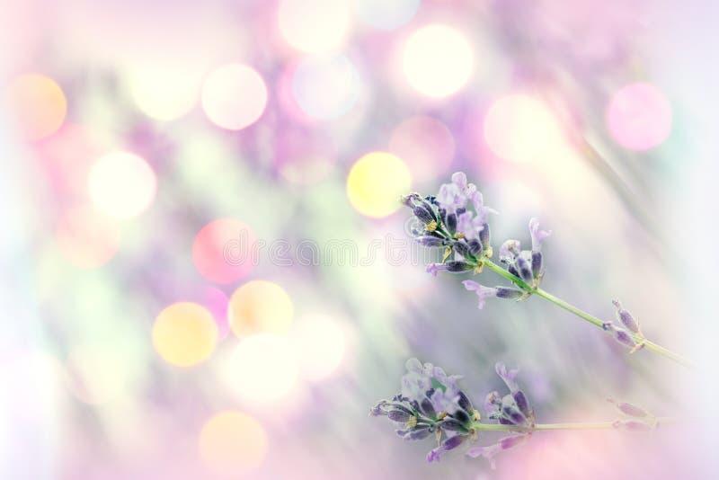 Enfoque selectivo y suave en flor de lavanda con fondo de lente foto de archivo