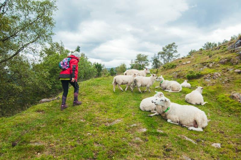 Enfotvandrare med en ryggsäck som förbigår de avkopplade fåren, flockas royaltyfria foton