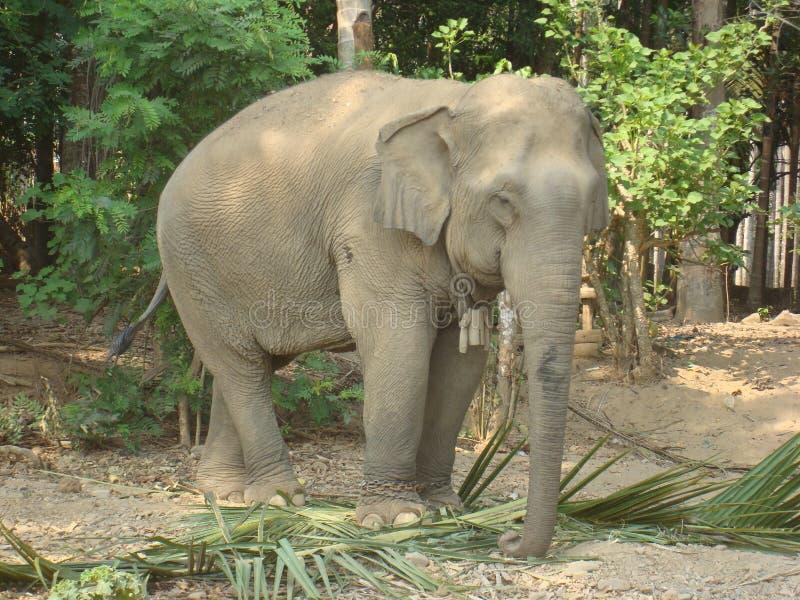 Enfrentando o elefante fotos de stock