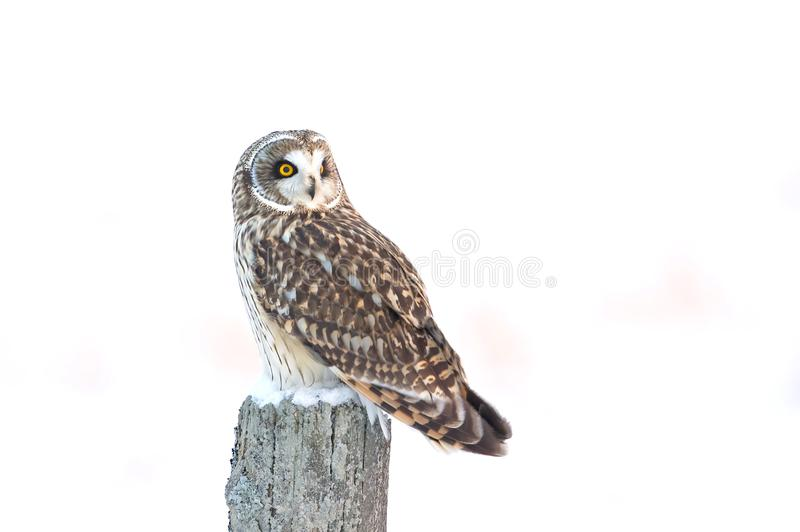 Engå i ax uggla & x28; Asioflammeus& x29; på en stolpe täckte att jaga över en snö fältet i Kanada royaltyfri fotografi