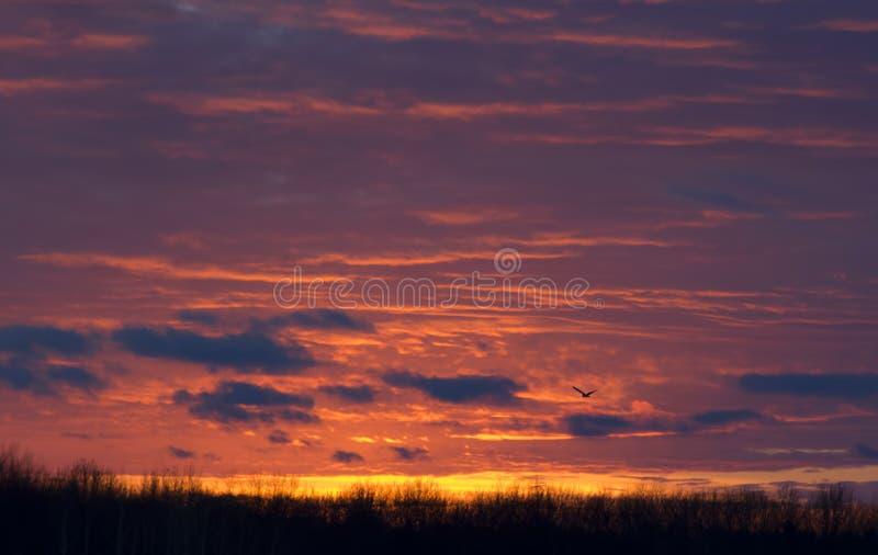 Engå i ax ugglaAsioflammeus som jagar över en snö, täckte fältet på solnedgången i Kanada fotografering för bildbyråer