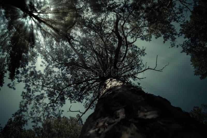 Eng donker het landschapsmaanlicht van de boomnacht Schemering in het bos, mysticus nightscape royalty-vrije stock afbeeldingen