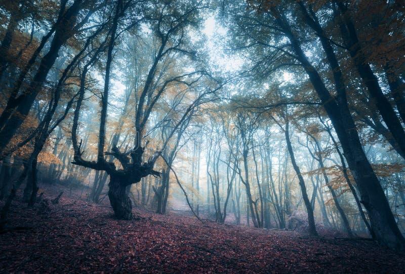 Eng geheimzinnig bos in mist in de herfst Magische bomen nave royalty-vrije stock afbeeldingen
