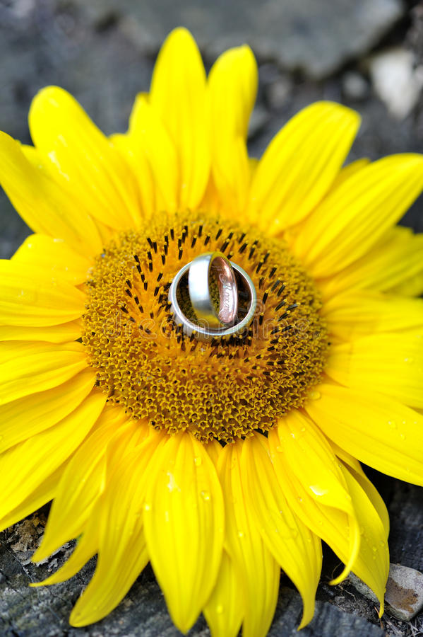Download Engagement gold rings stock photo. Image of sunflower - 21036398