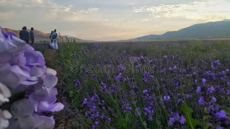 Engagement photos in lavender fields. Photos taken in Lavender fields in Mona Utah stock photo
