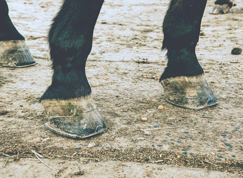 Enganche descalzo del caballo El caballo vive en prado podría estar fuera descalzo foto de archivo