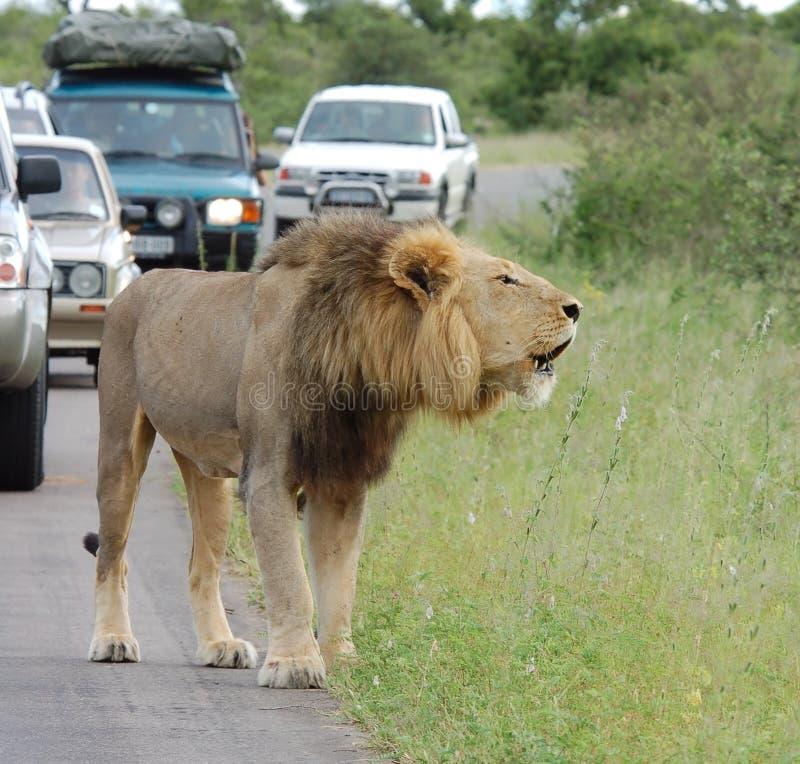 Engarrafamento de África: Leão africano foto de stock