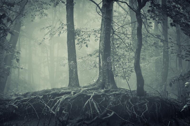 Enge bomen met wortels in een donker bos royalty-vrije stock foto's