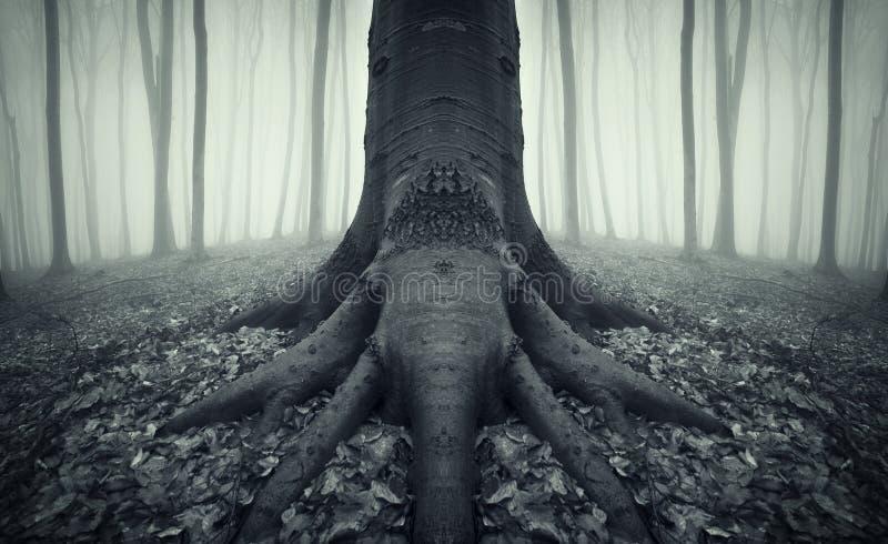 Enge boom met grote wortels in een bos met mist royalty-vrije stock foto's
