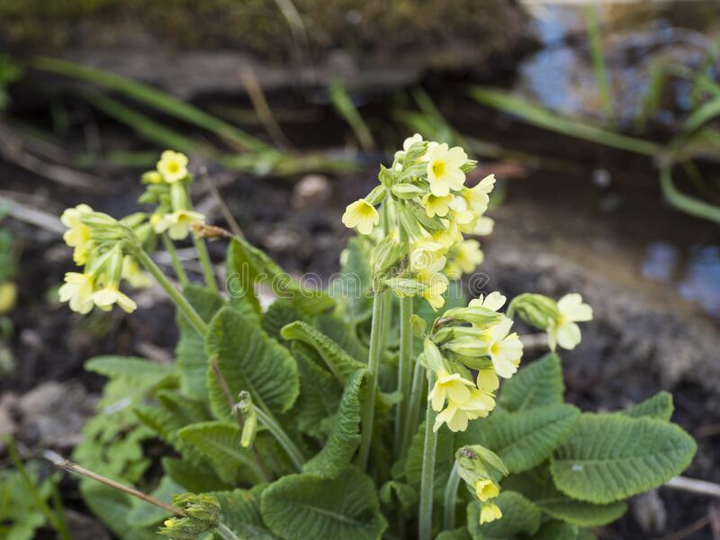 Enge gelbe Primula vulgaris Blumen am Ufer des Waldstromes Federgebirgshintergrund, selektiver Fokus stockfotografie