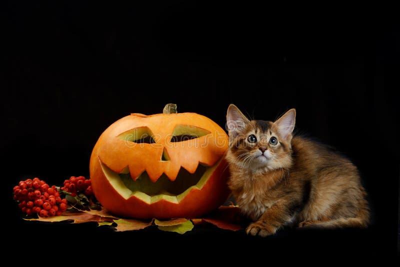 Enge Halloween-pompoen en Somalisch katje royalty-vrije stock afbeelding
