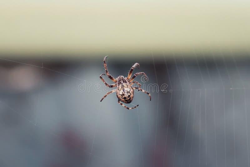 Enge harige spin die zijn Web spinnen royalty-vrije stock foto