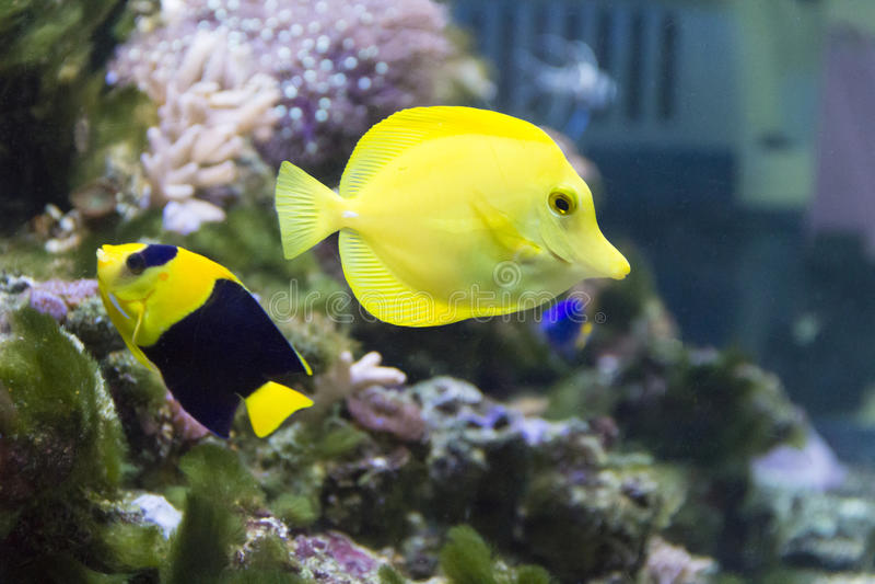 Engel Fische und zebrasoma im Aquarium lizenzfreies stockfoto