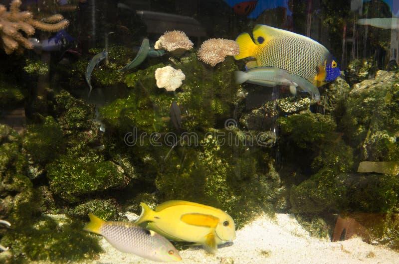 Engelhaischwimmen im Aquariumglasbehälter stockfotos