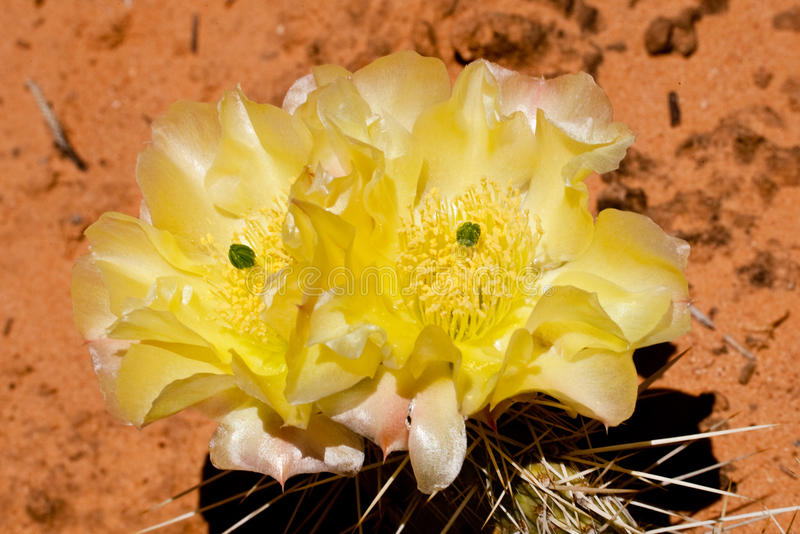 Download Engelman Pricklypear stock image. Image of thorns, flower - 14857923