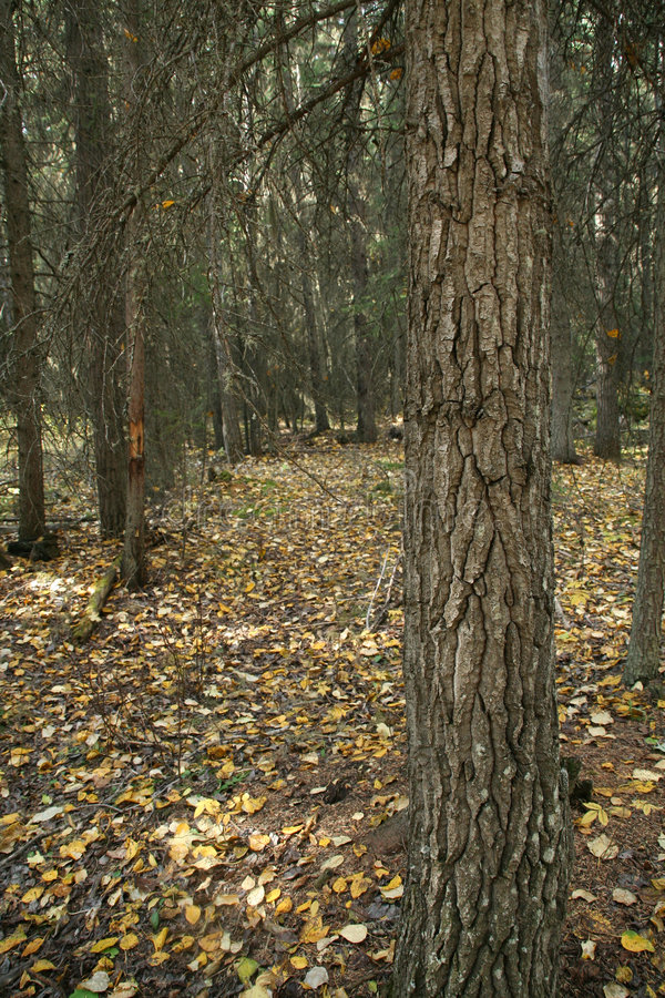 Download Engelmann Spruce Tree Trunk & Forest Floor Stock Photo - Image: 1391610
