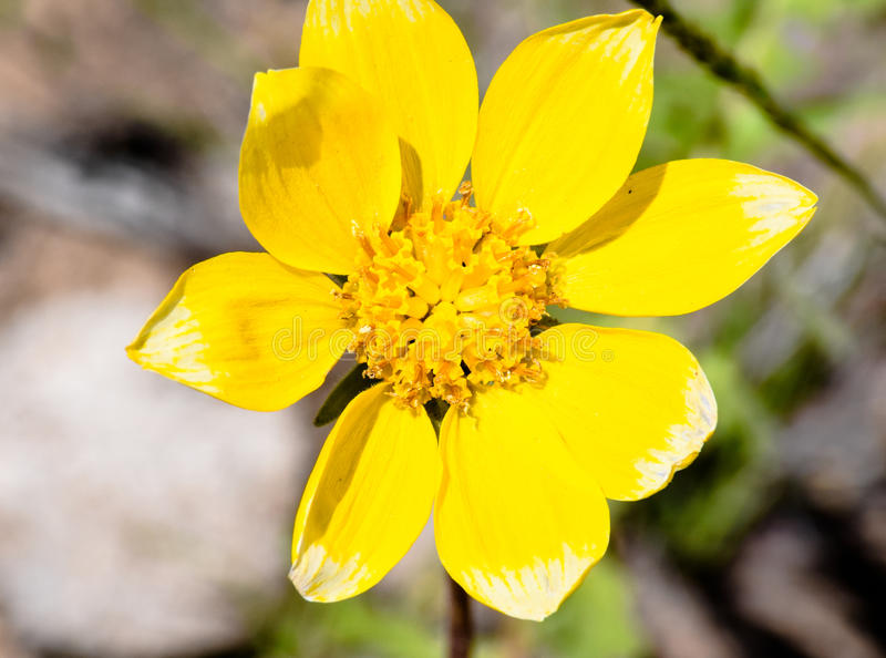 Engelmann stokrotki Asteraceae zdjęcia royalty free