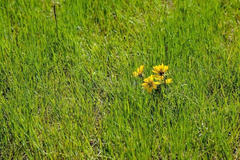 Engelmann stokrotki Asteraceae W trawie obraz stock