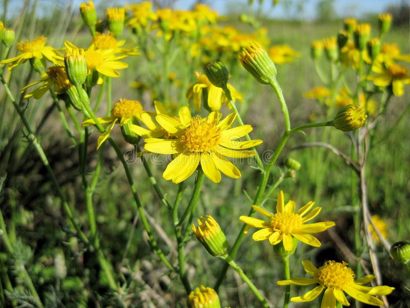 Engelmann stokrotki Wildflowers, Engelmann stokrotka, Cutleaf stokrotka fotografia stock