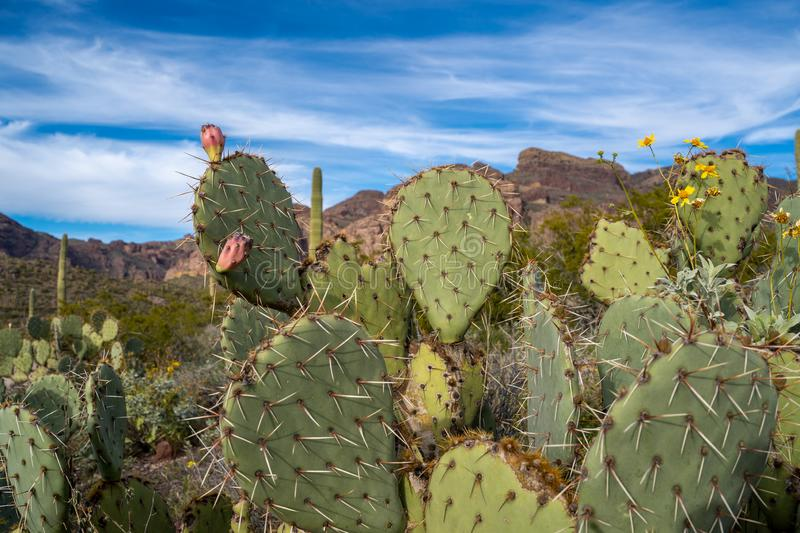 Engelmanns Prickly Pear Cactus in Organ Pipe National Monument in the Sonoran Desert of Southwest Arizona.  royalty free stock image