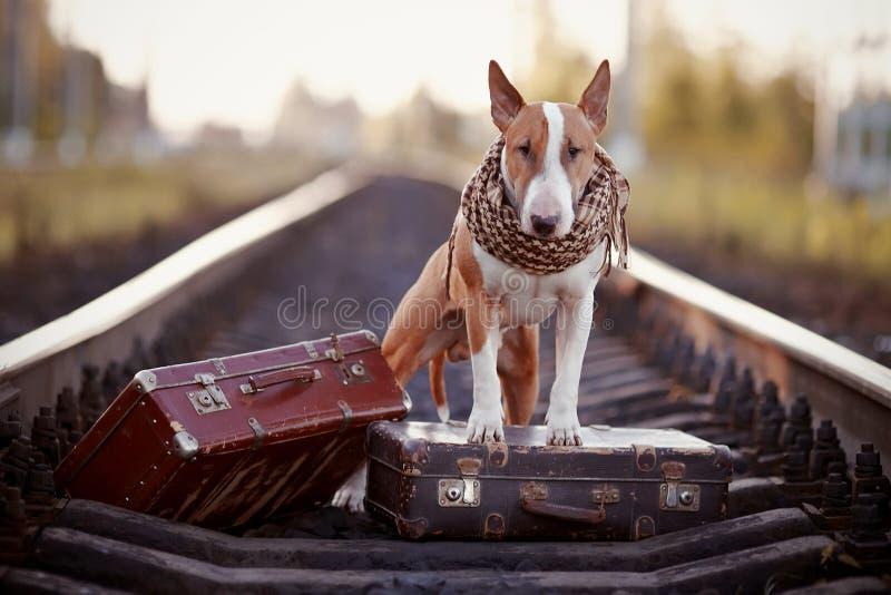 Engels bull terrier op sporen met koffers royalty-vrije stock foto's