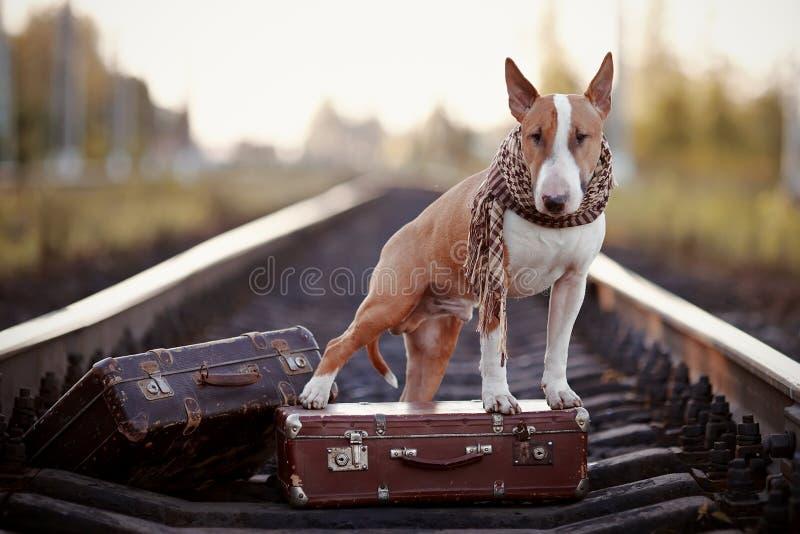 Engels bull terrier op sporen met koffers royalty-vrije stock fotografie