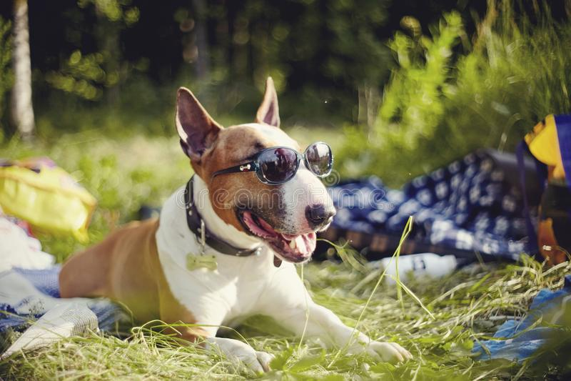 Engels bull terrier in zonnebril heeft in openlucht een rust stock foto